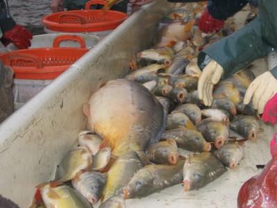 Tri de poissons